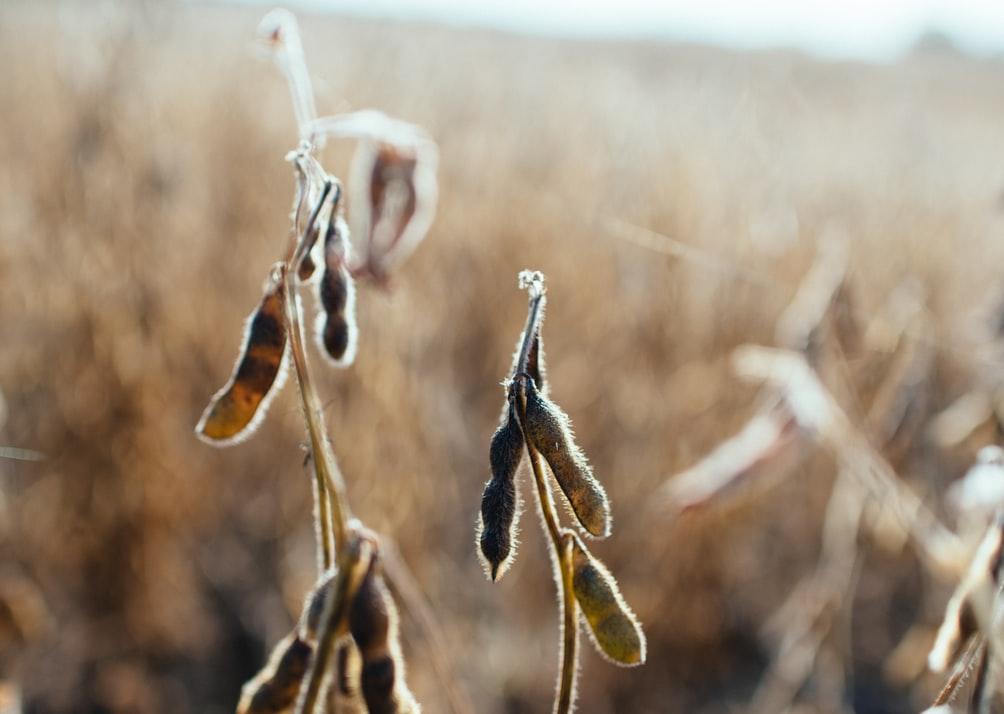 枝豆と大豆の栄養を比較!